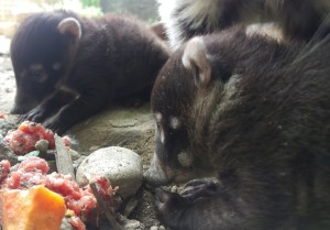 Coati Kits 2016_SMALL